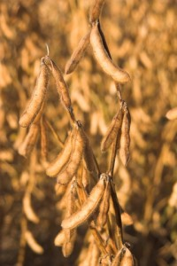 http://www.dreamstime.com/stock-photos-soybeans-image1322813